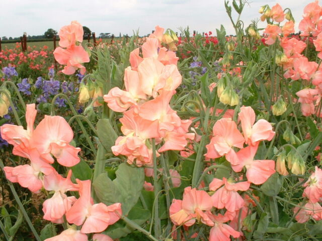 Sweet Pea - Spencer Evening Glow Appx 75 seeds - Annuals & Biennials
