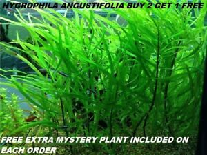 BUY-2-Get-1-FREE-Hygrophila-Angustifolia-Fish-Tank-Plants-Aquarium-Plants-Easy