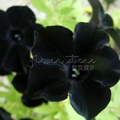 20 Black Night Glory Seeds Stunning Climbing Varieties TT227