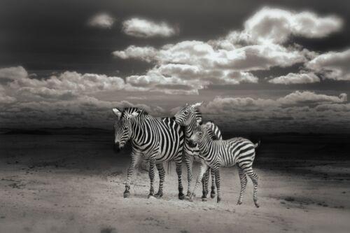 Lovely Zebra Animal Cool Poster Print  A0-A1-A2-A3-A4-A5-A6-MAXI 178