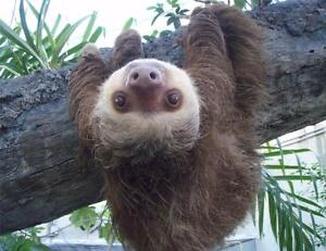 sloth hanging out glossy poster picture photo cute funny cool tree