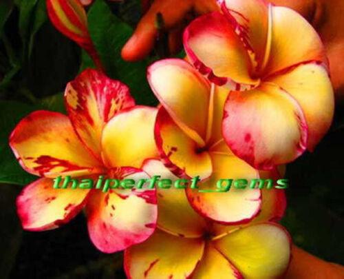 "Plumeria//Plantes//Fleurs///""TOP ANGEL/""//Fresh 50 graines"