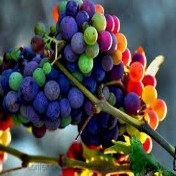 10 x RAINBOW GRAPE SEEDS VINE FRUIT FREE HEIRLOOM SWEET UK RARE ORGANIC