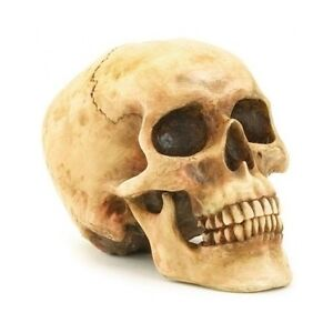 image is loading fake human skull halloween realistic replica skeleton science - Halloween Skeleton Head
