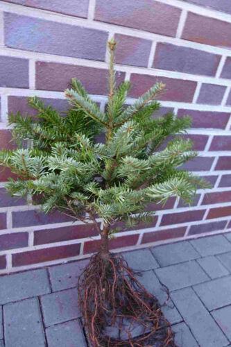 Nordmanntannen 10st 5j.40-50cm Weihnachtsbaum Nordmanntanne XXL