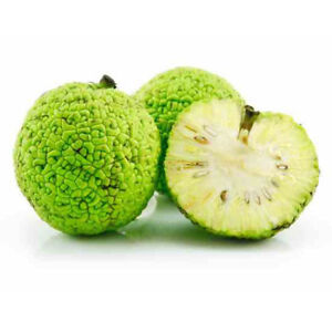Osage-Orange-10-1000-Seeds-Hedge-Apple-Tree-maclura-pomifera-monkey-balls