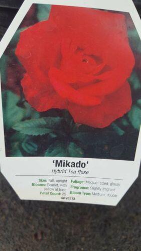 Mikado Hybrid Tea Rose 3 gal Scarlett Yellow Bush Plants Shrub Plant Fine Roses
