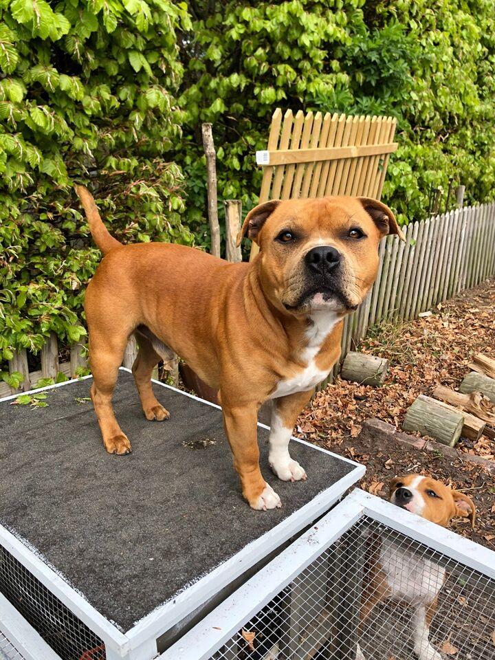 Stafforshire Bull Terrier, hund, 2 år
