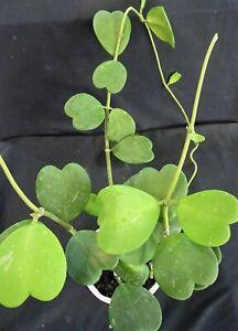 Hoya-kerrii-039-Heart-Hoya-039-Large-plant