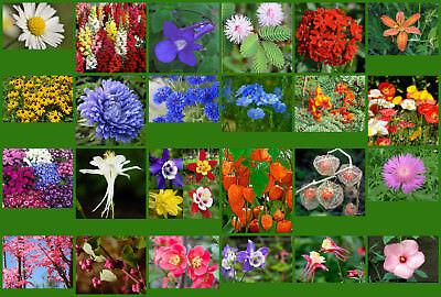 50 Graines Aster Colorful Graines de fleurs rares jardin plantes en pots UK Aster pot Home