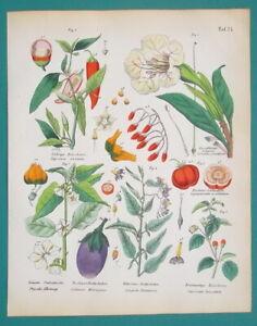MEDICINAL-PLANTS-Eggplant-Tomato-Chili-Chinese-Lantern-1845-H-C-COLOR-Print