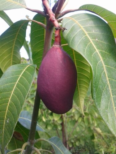 Mango 150cm VEREDELT Mangobaum Magnifera indica Mangopflanze
