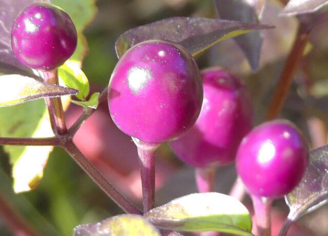 Chilie Samen 30 Stück - Purple Ball - Capsicum anuum seeds