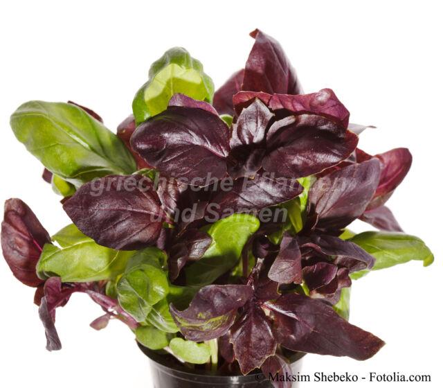 🔥🌿griechischer Busch-Basilikum rot und grün je 50 frische Samen Kräuter Balkon