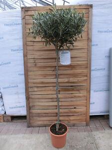 olivenbaum olea europaea pflanze 170cm frost essbare. Black Bedroom Furniture Sets. Home Design Ideas
