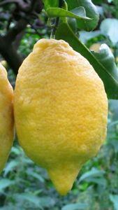 Pianta-di-limone-sfusato-amalfitano-in-fitocella-foto-reali