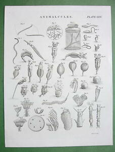 ANMALCULES-Miniscule-Animals-Magnified-1823-Copperplate-Engraving-Print