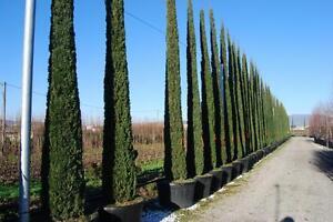 Cipres-del-Cementerio-CUPRESSUS-SEMPERVIRENS-15-Semillas-Jardin-Arboles