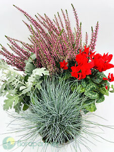 Pflanzen-Mix-Calluna-vulgaris-Garten-Alpenveilchen-Blau-Schwingel-Silberblatt