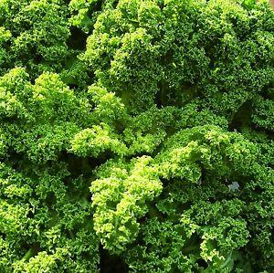 Le-chou-frise-chou-a-feuilles-Nain-Vert-Frise-800-graines-la-mode-Superfood