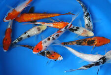75 pack of 2.5 inch Koi Live fish tank koi pond aquarium wholesale