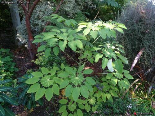 Brassaiopsis mitis Amazing Plant !!!!!!