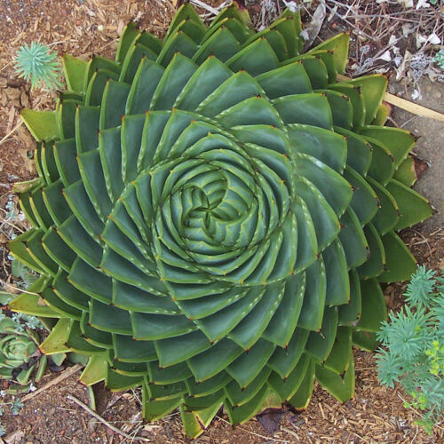 Mix Succulents Alone Seed Aloe Polyphylla Rotation Aloe Vera queen-Seeds100X
