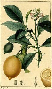Decoration-Botanique-Citronnier-Jean-Francois-Turpin-Gravure-originale-XIXe
