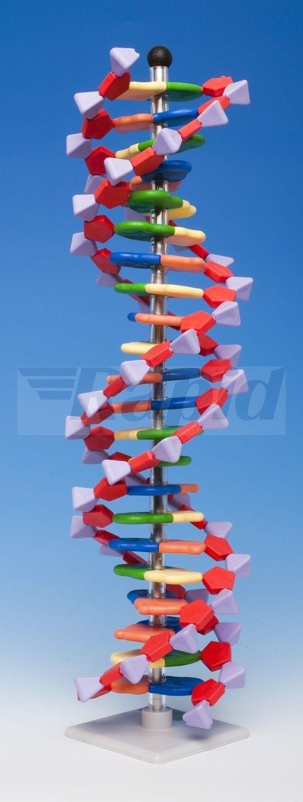 Molymod DNA-060-22 - MiniDNA Advanced 22 Layer Molecular Model Kit - 440mm High