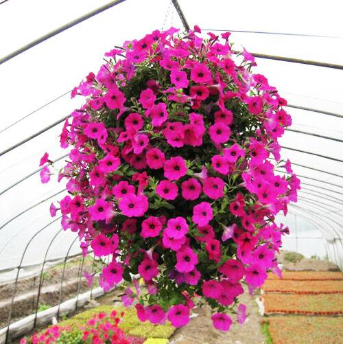 50 Trailing Petunia Seeds Hanging Petunia Hybrida Garden Flowers