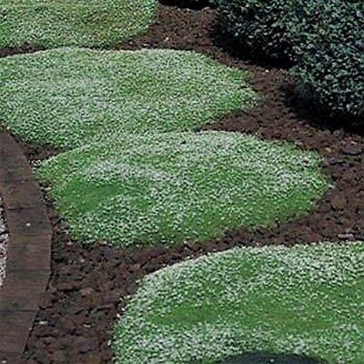 Irish Moss- 100 Seeds