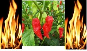 25 Red Bhut Jolokia Seeds Ghost Pepper Naga Jolokia HOT Chilli *900K-1.1M+ SHUS