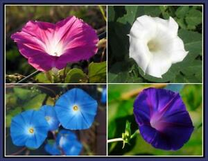 Details About 100pcs Ipomoea Nil Morning Glory Flowers Seeds Rare 37 Kinds Beautiful Flowers