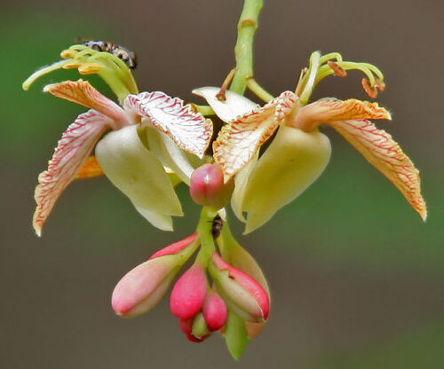 Tamarindus indicaTamarind Tree10/_Seeds