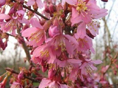 Prunus Okame in vaso 7cm