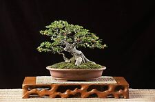 Bodhi Tree Seeds - Ficus Religiosa - Sacred Fig - 50+ Bonsai - BKSeeds