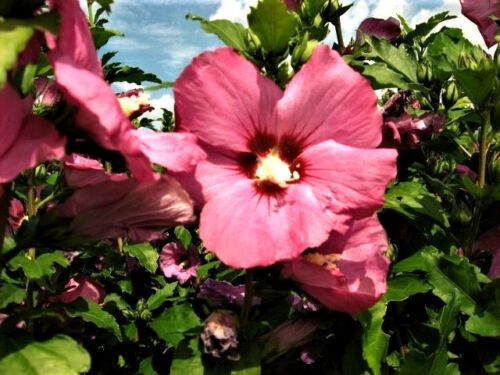 Gartenhibiskus Straucheibisch rose rot Aphrodite 30 Samen
