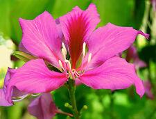 Bauhinia purpurea Purple Orchid Tree 10 Seeds Spectacular Blooms Easy Small Tree