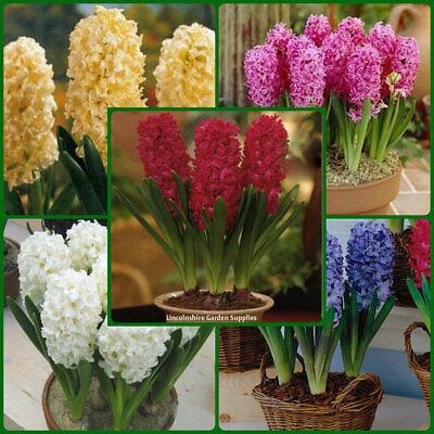 Hyacinth White /'Carnegie/' Bedding Outdoor Garden Spring Bulbs Pack x5