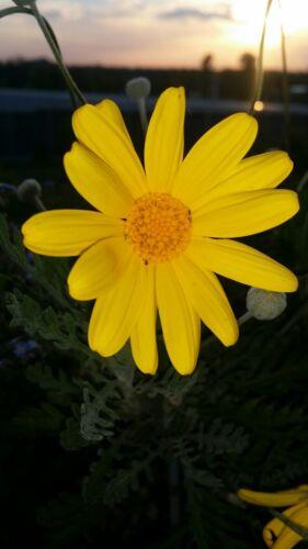 100 Samen gelbe Staudenmagarite...super schön und leuchtend gelb