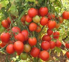 """India's 1st Triple Disease Resistant Tomato F1 Hybrid """"Arka Rakshak"""" 2500 Seeds"""