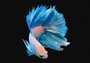 A1-Japanese-Fighting-Fish-Poster-Art-Print-60-x-90cm-180gsm-Beauty-Gift-15149