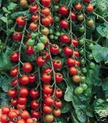 Tomato Small Cherry Basket Pack (Lycopersicon Esculentum) 500 Seeds