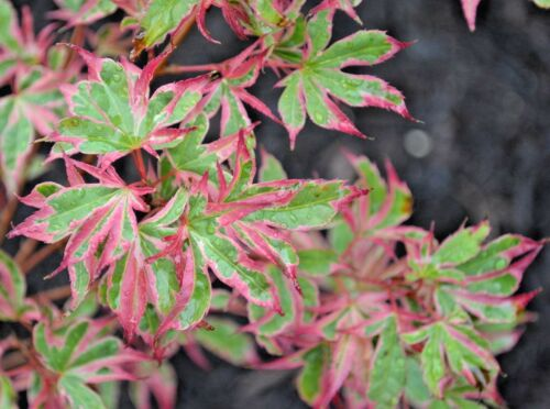 Acer palmatum varieties-all grafted 2 litre pots-English grown Japanese Maples
