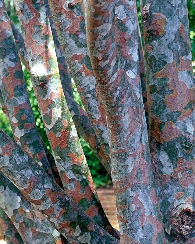 250 x LACEBARK PINE (PINUS BUNGEANA) seeds