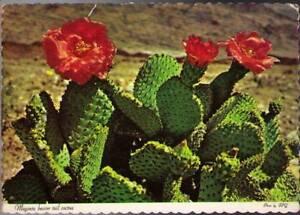 wpw-Postcard-Magenta-Beaver-Tail-Cactus