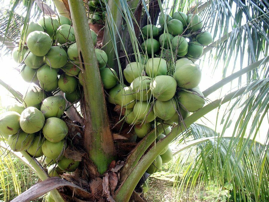 5 Coconut Dwarf Palm seed Tree with no shoot juice Fagrance Tropical Fruit
