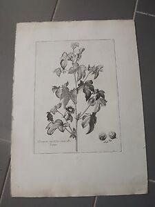 Estampe-chalcographie-botanique-Musee-du-louvre-COTTON