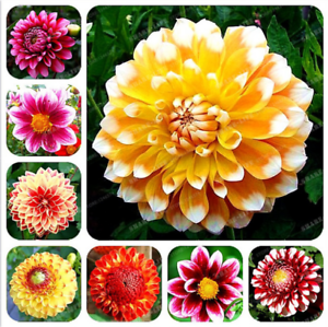 10PC-Gorgeous-Rare-Rainbow-Dahlia-Seeds-Chinese-Peony-Bonsai-Flower-Seeds