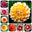 10PC-Gorgeous-Rare-Rainbow-Dahlia-Seeds-Chinese-Peony-Bonsai-Flower-Seeds thumbnail 1